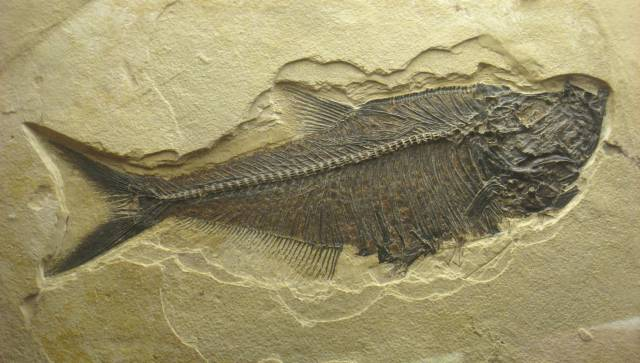 fossiel-wikipedia