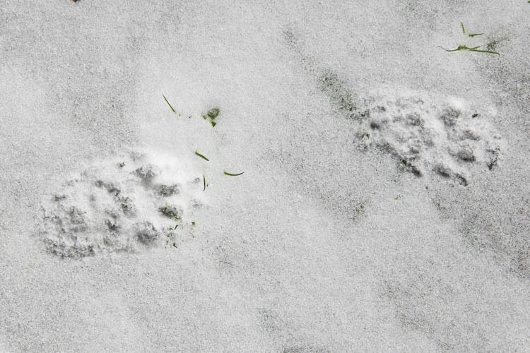 voetstappen van de steenmarterin sneeuw