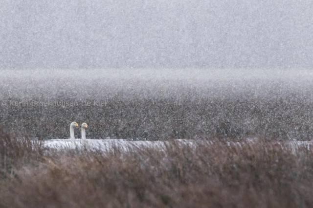 ganzen en sneeuwval