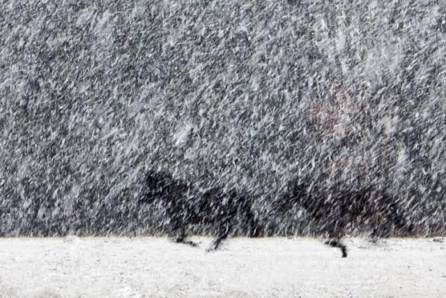 hollende paarden in een sneeuwbui
