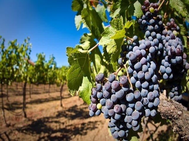 wijndruiven-frankrijk