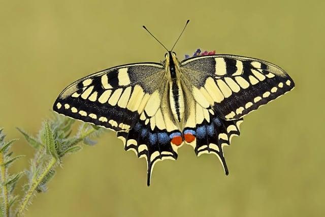 Vlinder Koninginnenpage