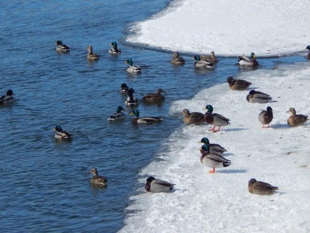 eenden op het ijs