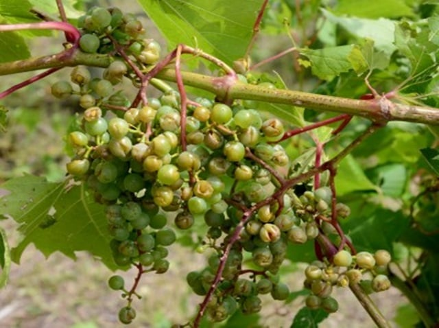 Hagelschade druiven