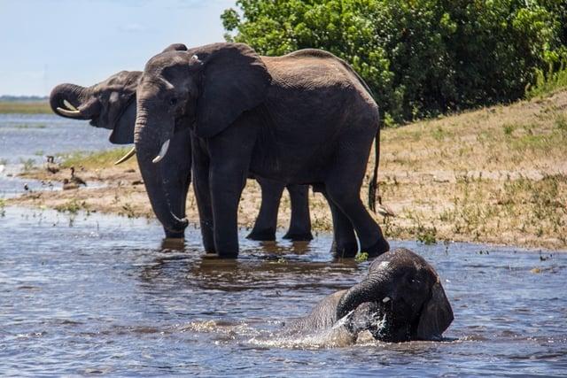 Olifanten in het Chobe Nationaal Park