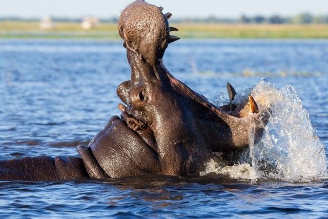 Een nijlpaard laat zijn tanden zien.