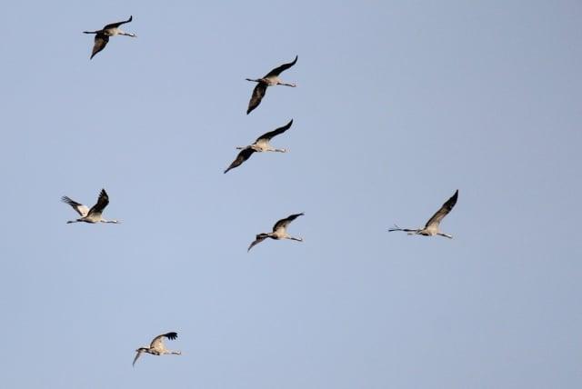 kraanvogels op trek